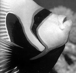 Рыба-Наполеон. получила свое название из-за характерного выступа на...