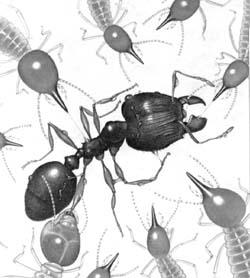 Группа термитов Trinervitermes bettonianus пытается обезвредить вторгшегося в их владения большеголового муравья Pheidole megacephala.