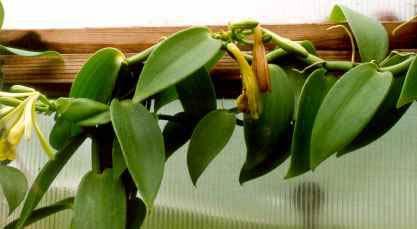 Ванильная орхидея в домашних условиях уход 261
