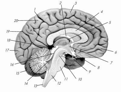 Головной мозг (продольный