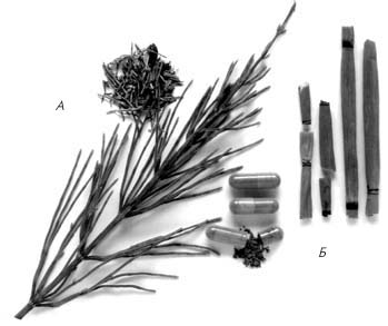 Надземные части хвоща полевого (А) и зимующего (Б), используемые в медицинской практике