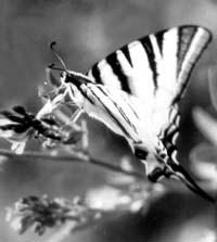 Подалирий (Iphiclides podalirius) – бабочка с парящим полетом