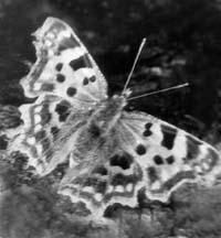 Углокрыльницу C-белое (Poligonia c-album) весной можно часто увидеть на березах, где она пьет вытекающий сок