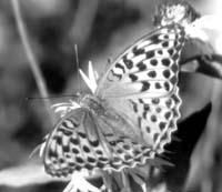 Самка перламутровки большой лесной (Argynnis paphia)