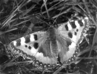 Крапивница (Aglais urticae)