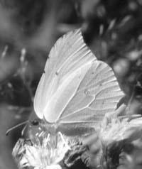 Крушинница (Conepteryx rhamni)