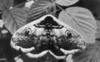 Павлиноглазка грушевая (Saturnia pyri). Во взрослом состоянии эта бабочка не питается
