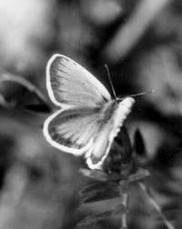 Бабочка из семейства голубянок (Lycaenidae). Гусеницы некоторых видов этих бабочек – хищники