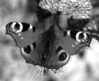 Дневной павлиний глаз (Inachis io). Эта бабочка использует глазчатый рисунок на крыльях для отпугивания своих врагов – насекомоядных птиц