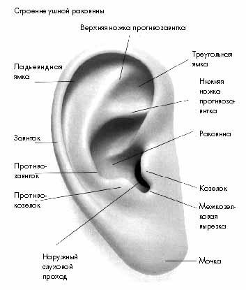 Схема органов слуха и равновесия: 1 - наружное ухо; 2 - среднее ухо; 3 - внутреннее ухо; 4 - кортиев орган; 5...