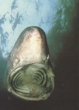 Гигантская акула (Сetorchinus maximus) -единственный представитель...