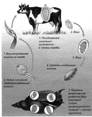 Схема развития печеночного сосальщика и бычьего цепня