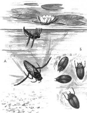 А – клоп гладыш обыкновенный б – жук