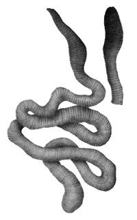 Обычные земляные черви и черви-гиганты.