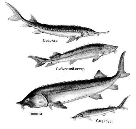 фото осетра рыбы