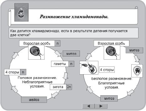 размножение хламидомонады.